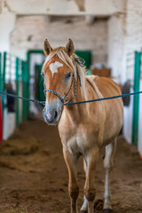 Horse on a leash in the stable.