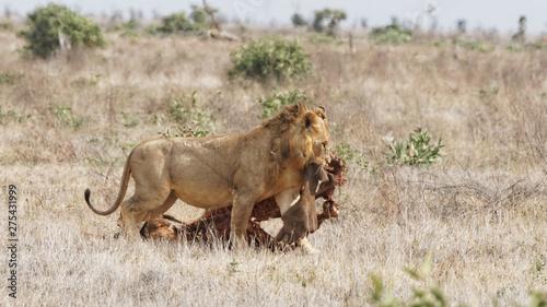 Photo Lion et sa proie