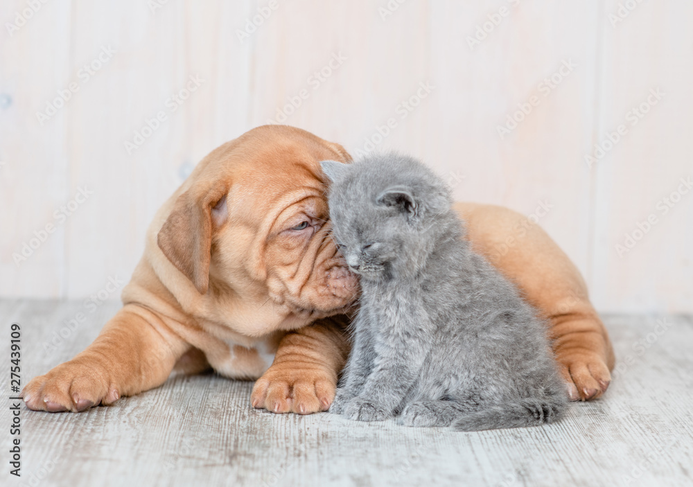 Fototapety, obrazy: Cute puppy kissing kitten on the floor at home