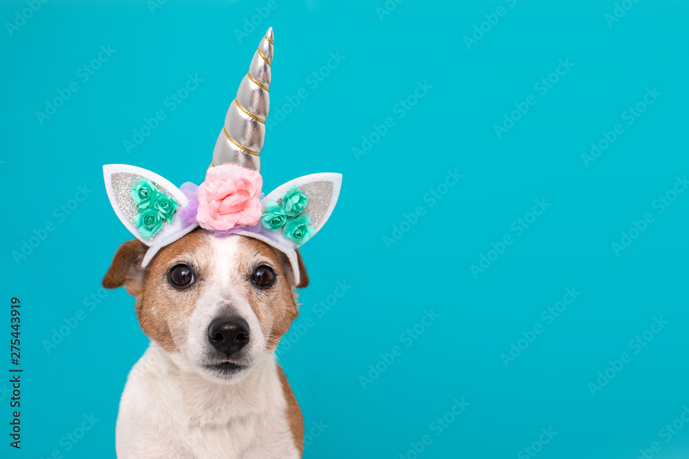 Fototapety, obrazy: Funny unicorn little white dog looking at camera on blue background with copy space