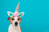 Funny unicorn little white dog looking at camera on blue background with copy space