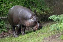 Pygmy Hippopotamus - Hexaprotodon Liberiensis. Liberian Hippo.