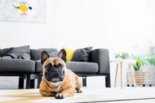 Cute French Bulldog Lying On Floor In Living Room