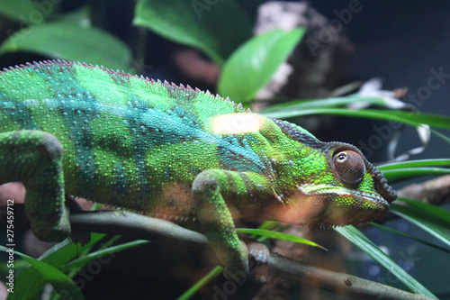 Fotobehang Kameleon Green striped chameleon on a branch