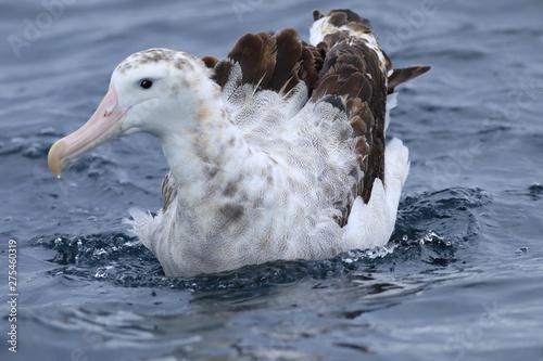 Gibson's Wandering Albatross, Diomedea exulans, on ocean Fototapeta