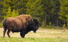 Bison In Yellowstone Nationl Park, Wyoming, US
