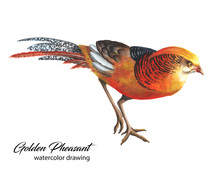 Bright Red And Orange Chinese Pheasant Watercolor Drawing