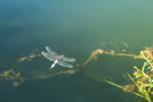 Large Dragonfly In Hovering Flight Over Water. Close Up.
