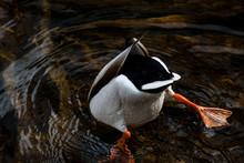 Bottoms Up Duck