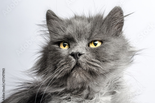 portrait of shaggy gray adult fluffy cat on a light background Wallpaper Mural
