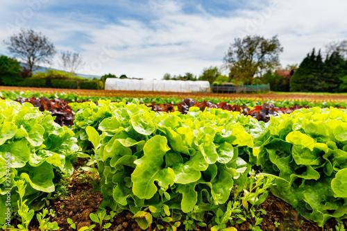 Green Lettuce leaves on garden beds in the vegetable field Wallpaper Mural