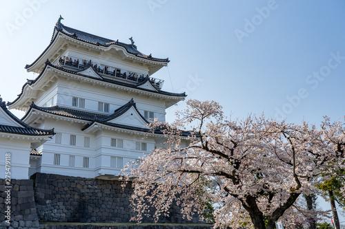 Fototapeta 小田原城と満開の桜 撮影日2019/4/6