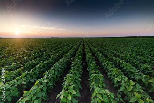 Fototapeta Agricultural soy plantation on twilight obraz