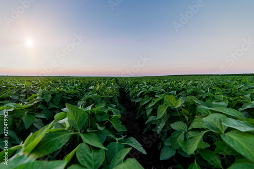 Fotomural Agricultural soy plantation on twilight