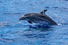 Atlantic Ocean Spotted Dolphin Madeira Jumping