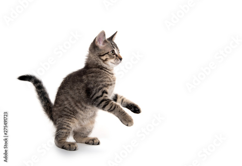 Cadres-photo bureau Chat Tabby cat playing on white background