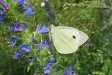 Beautiful Cabbage White Butterfly