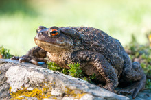 Common Toad , Bufo Spinosus. Toad.
