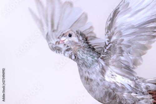 Flap of Uzbek pigeon wings close-up Canvas Print