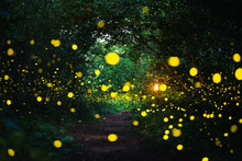 Firefly Flying At Night In The...