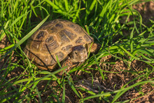 Steppe Turtle Crawling In The Grass.
