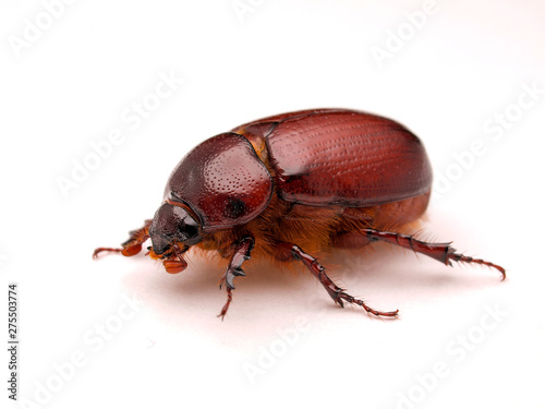 Photo May beetle, Phyllophaga species, in Baja Mexico, photographed on white backgroun