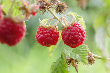 Sweet Red Fruits On Wild Raspberry