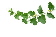 Green Leaves Of Cantaloupe (Mu...