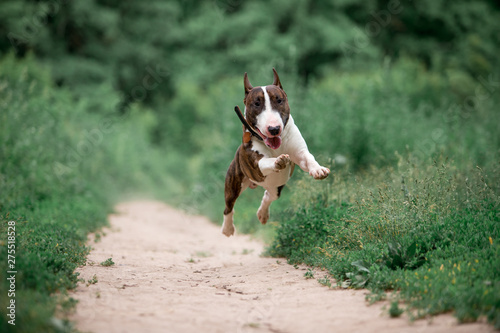 Valokuvatapetti Beautiful dog breed bull terrier walks on green nature
