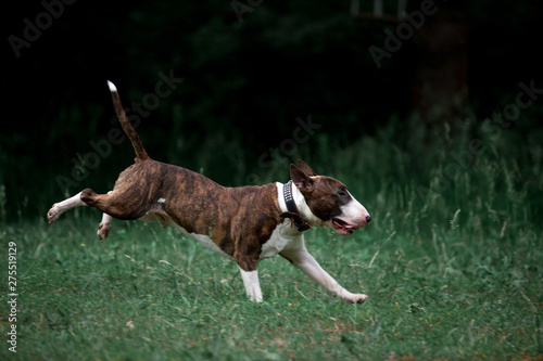 Beautiful dog breed bull terrier walks on green nature Fototapet