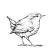 canvas print picture - Zaunkönig, winziger Vogel