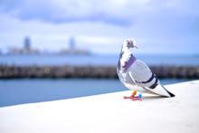 A Messenger Pigeon (Columba Li...