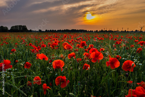 Fototapeta Bright red Poppy field glowing just prior sunset obraz na płótnie