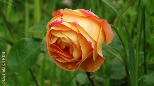 Poster Fleur rose