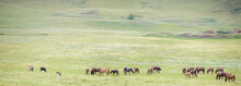 Herd Of Horses On Rural Road. Horse Farm Pasture With Mare And Foal. Panorama