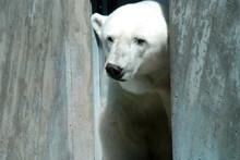 Polar Bear In Captivity In Zoo