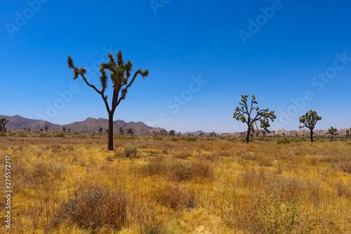 Poster Afrique Joshua tree in the Mojave desert