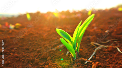 Fotografie, Obraz  Growing seedlings, morning sunshine background