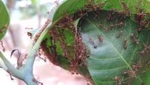 Ants Build A Nest With Mango L...