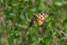 Painted Lady Butterfly On The Flower Of Clover