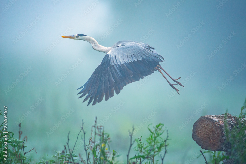 Fototapety, obrazy: The grey heron taking off with spread wings