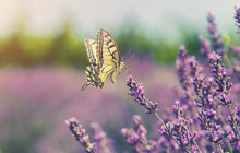 Blooming Lavender Field. Butterfly On Flowers. Selective Focus.