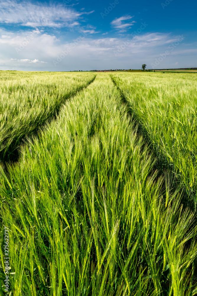 Fototapety, obrazy: Stunning ears of grain on green field, Poland