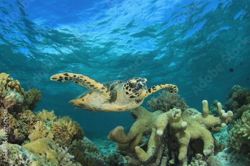 Foto op Aluminium Onder water Hawksbill Sea Turtle on coral reef