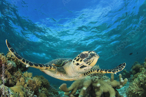 Poster Tortue Hawksbill Sea Turtle on coral reef