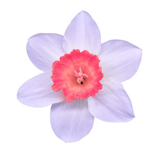 Flower Pink White Narcissus,  ...