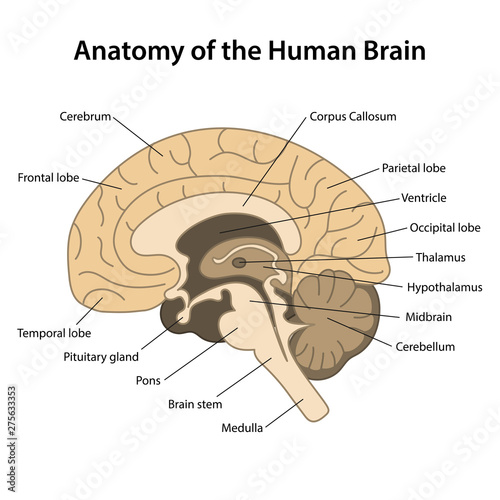 Sagittal Brain Anatomy - Anatomy Drawing Diagram
