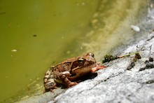 European Common Brown Frog Or ...