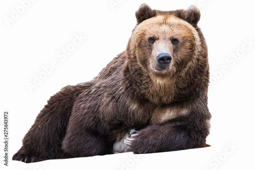 Portrait of a brown bear isolated on white