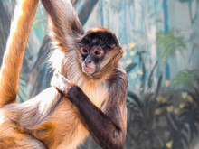 Blonde And Brown Spider Monkey Hanging By Its Arm